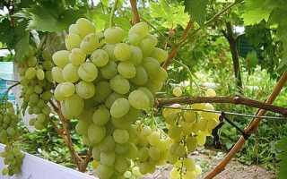 Прививка винограда: Летняя прививка винограда зеленое в зеленое