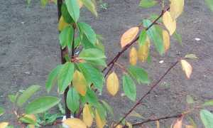 Почему желтеют и опадают листья у вишни: в июле, июне, что делать