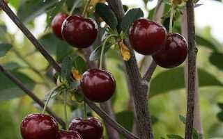 Описание самоплодного сорта вишни Молодежная