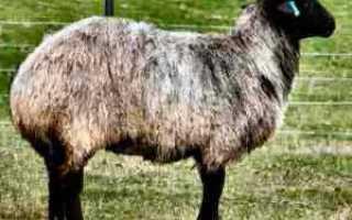 Описание породы Курдючных баранов разведение уход