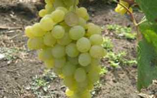 Виноград ландыш описание сорта фото отзывы