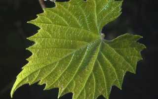 Листья винограда виды структура