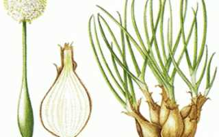 Лук шалот выращивание из семян посадка описание