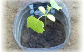 Посадка и выращивание огурцов в 5 литровых бутылках
