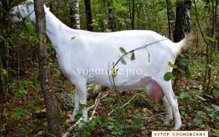 Как козу доить: правильно раздоить после первого окота и сколько раз в день нужно доение