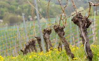 Рекомендации по препаратам для обработки винограда от болезней и вредителей