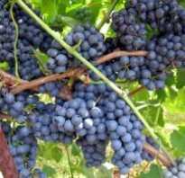 Виноград северный сладкий описание сорта способ посадки и ухода