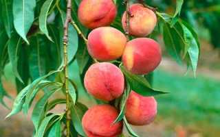 Персик дерево посадка и уход как и когда размножение