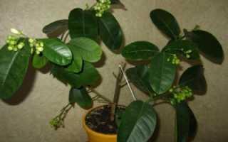 Обрезка и уход лимона в домашних условиях как прищипывать формирование кроны