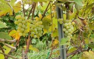 Виноград Луиза Свенсон описание характеристика и правила ухода за сортом американской группы