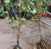 Посадка черешни с закрытой корневой системой летом после сбора урожая в июле как часто поливать