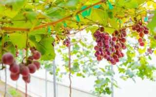 Виноград почки не распускаются. Почему почки не проснулись? Обработка винограда после распускания листочков