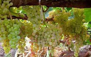 Желтый сорт винограда фото описание