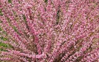 Миндальное дерево розовое облако. Миндаль Розовая пена – посадка и уход за декоративными кустарниками. Луизеания или миндаль трехлопастный