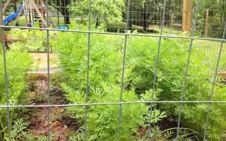 Морковь посадка в открытом грунте уход подкормка