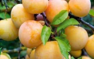 Слива желтая крупная сорт — Дачное хозяйство