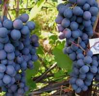 Виноград агат донской описание сорта урожайность правильный уход