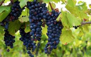 Виноград Изабелла описание сорта польза и вред