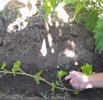 Виноград прикопать лозу для формирования отводки побегом кустом