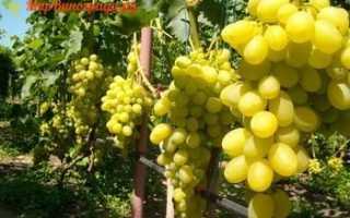 Столовые сорта : Виноград ВИКТОРИЯ БЕЛАЯ (вива-айка) привитый на подвой Б*Р СО4