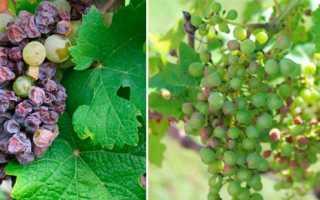 Признаки заболеваний винограда описание