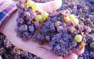 На винограде гниют ягоды: причины, профилактика, лечение