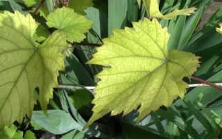 Цвет листьев винограда о чем говорит причины изменения цвета