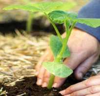 Высадка тыквы в грунт рассадой особенности ухода