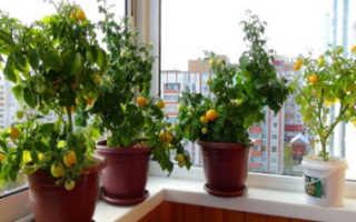 Помидоры на балконе выращивание пошагово подбор сорта переасдка рассады