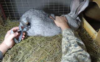 Прививки для кроликов какие когда и как делать