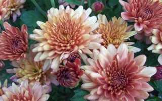 Размножение хризантемы черенками осенью в домашних условиях можно ли
