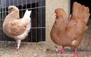 Разведение мясных пород голубей — АгрономWiki