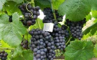 Сорт винограда киевский фиолетовый описание
