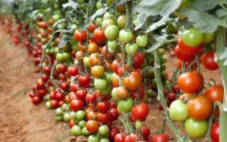 Низкорослые сорта томатов детерминантные помидоры