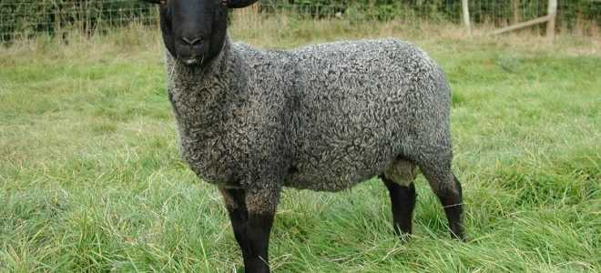 Овцы романовской породы: характеристика, уход за ягнятами, фото