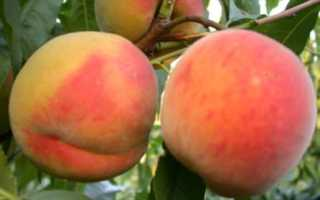 Самые крупные сорта персика. Описание сортов персика. Зимостойкие сорта персиков