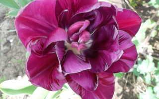 Сколько дней цветут тюльпаны и в какой период