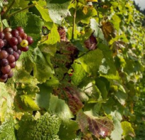 Виноград первые почки как и когда просыпается растение