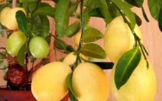 Лимонелла Лаймкват — уход и удобрение
