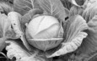 Семена капусты – лучшие сорта для открытого грунта (Фото)