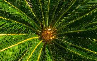 Пальма комнатная домашняя виды фото уход
