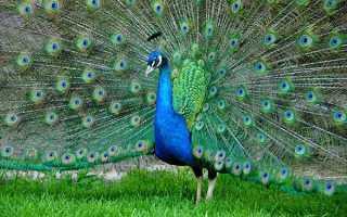 Обыкновенный индийский павлин описание породы фото