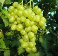 Виноград Супер Экстра — описание сорта с фото, отзывы, посадка и уход