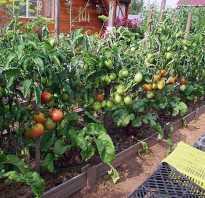 Когда сажать помидоры в открытый грунт рассадой правила высадки уход