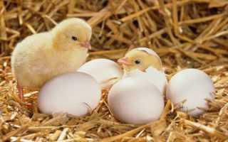 Уход и выращивание цыплят в домашних условиях