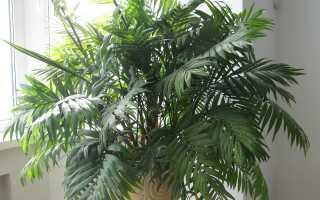 Хамедорея: листья сохнут что делать, уход в домашних условиях, заболевания
