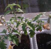 Рассада помидор желтеет и сохнет что делать чтобы не пропадали листья