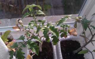 Сохнут листья у рассады помидор