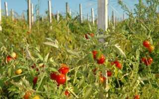Томаты выращивание и уход в открытом грунте подкормка полив опрыскивание
