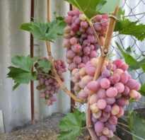 Виноград восторг черный белый красный описание фото саженцы